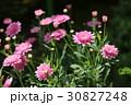 マーガレット ピンク 花の写真 30827248