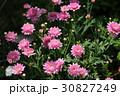 マーガレット ピンク 花の写真 30827249