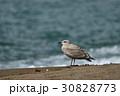 砂浜にたたずむ一羽のカモメの幼鳥を海をバックに撮影 30828773