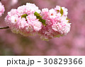 ヤエザクラ 花 春の写真 30829366