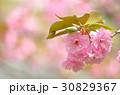 ヤエザクラ サトザクラ 花の写真 30829367