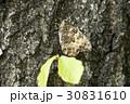 サトキマダラヒカゲ さときまだらひかげ 蝶の写真 30831610