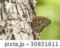 サトキマダラヒカゲ さときまだらひかげ 蝶の写真 30831611