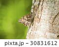 サトキマダラヒカゲ さときまだらひかげ 昆虫の写真 30831612