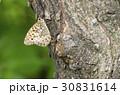 サトキマダラヒカゲ さときまだらひかげ 昆虫の写真 30831614