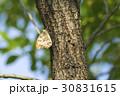サトキマダラヒカゲ さときまだらひかげ 昆虫の写真 30831615