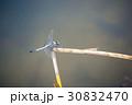 シオカラトンボ 30832470