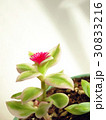 多肉植物_ベビーサンローズ・花(真横) 30833216