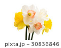 Daffodil flower isolated 30836846