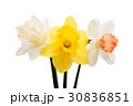 Daffodil flower isolated 30836851