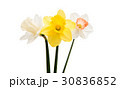 Daffodil flower isolated 30836852