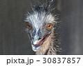 エミュー 鳥 野鳥の写真 30837857