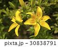 ユリ ゆり 百合の写真 30838791
