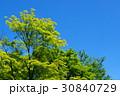 新緑 若葉 カエデの写真 30840729