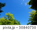 新緑 若葉 カエデの写真 30840730