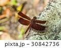 昆虫 とんぼ トンボの写真 30842736