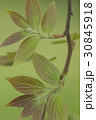自然 植物 エノキ、四月の若葉です。エノキの葉はゴマダラチョウなど多くのチョウの餌になります 30845918