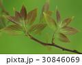 自然 植物 エノキ、柔らかそうな四月の若葉。色々な昆虫のごちそうです 30846069