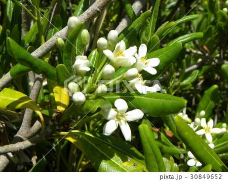秋には黒い実を付けるシャリンバイの白い花 30849652
