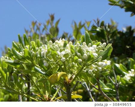 秋には黒い実を付けるシャリンバイの白い花 30849655