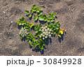 ハマボウフウの花 30849928
