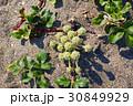 ハマボウフウの花 30849929