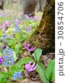 男山自然公園 蝦夷延胡索 花の写真 30854706