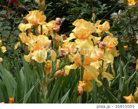 ジャマンアイリスの大きい花びらのオレンジ色の花 30855005