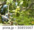 食料にもなる夏に赤く熟す未熟なヤマモモの実 30855007