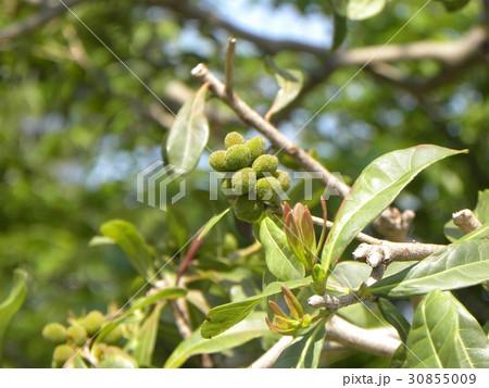 食料にもなる夏に赤く熟す未熟なヤマモモの実 30855009