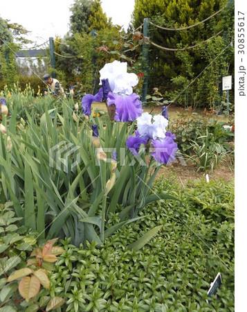 初夏に咲く大きな青い花は花はジャーマンアイリス 30855617