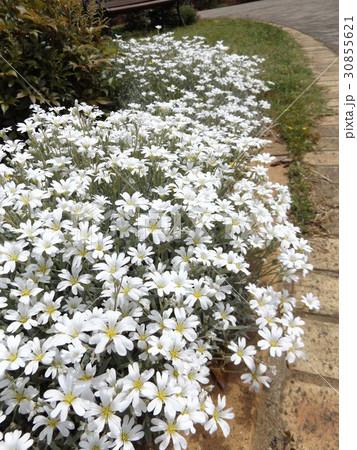 セラスチュームの白い花 30855621