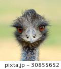 だちょう ダチョウ 鳥の写真 30855652