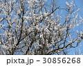 アンズの花 30856268