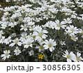 セラスチュームの白い花 30856305