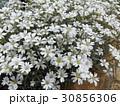 セラスチュームの白い花 30856306