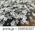 セラスチュームの白い花 30856307