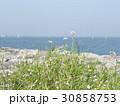 突堤のハマダイコンの先にトットの見える景色 30858753