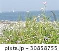 突堤のハマダイコンの先にトットの見える景色 30858755