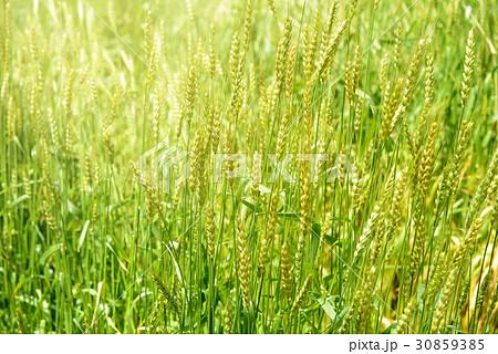 麦畑 30859385