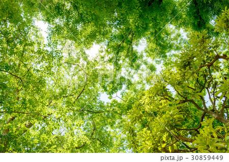 森の樹木を見上げる 30859449