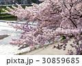 賀茂川の春 30859685