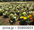 白い色のベコニアと黄色い花のマリーゴルド 30860603