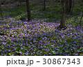 カタクリの花群生 30867343