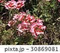 ぎざぎざの花びらの宿根バーベナの赤色と桃色の花 30869081