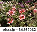 ぎざぎざの花びらの宿根バーベナ・ピンクパフェ白と赤色の花 30869082