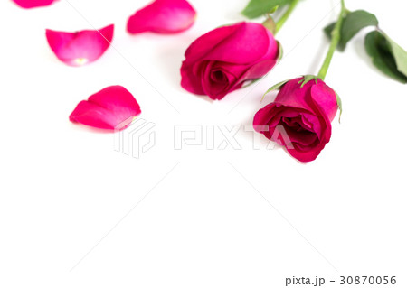 Pink rose with leaves isolated on white backgroundの写真素材 [30870056] - PIXTA