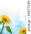 ヒマワリ 向日葵 花のイラスト 30877290