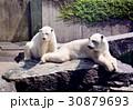 white bears 30879693