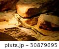 iguana 30879695